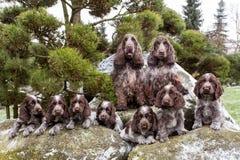 Портрет чемпионов английской семьи Spaniel кокерспаниеля Стоковые Фото