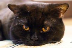 Портрет черного великобританского кота с оранжевыми глазами стоковые фотографии rf