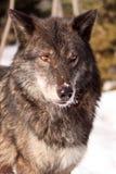 Портрет черного волка тимберса Стоковые Фотографии RF