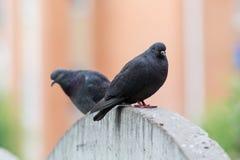 Портрет черного голубя 2 Стоковые Фотографии RF
