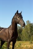 Портрет черного жеребца стоковая фотография rf