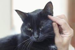 Портрет черного кота при женской руки штрихуя ее Стоковое Изображение