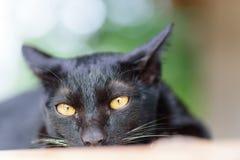 Портрет черного кота смотря камеру Стоковые Фото