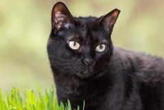 Портрет черного кота стоковые фотографии rf