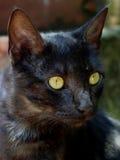 портрет черного кота Стоковое фото RF