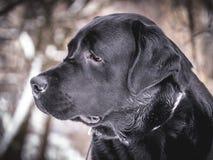 Портрет черного Retriever Лабрадора в зиме Стоковые Фотографии RF