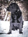 Портрет черного Retriever Лабрадора в зиме Стоковая Фотография RF