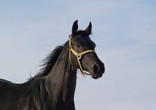 Портрет черной лошади Стоковые Изображения RF