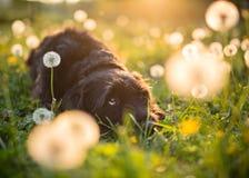 Портрет черной собаки остолопа во время захода солнца на луге стоковое изображение rf