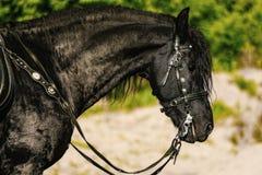 портрет черной Friesian лошади летом стоковые фото