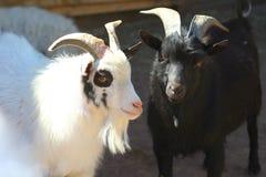 Портрет черно-белых коз Стоковые Фото