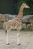 портрет шеи головки giraffe предпосылки Стоковые Фотографии RF