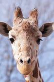 портрет шеи головки giraffe предпосылки Стоковое Изображение
