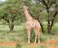 портрет шеи головки giraffe предпосылки Стоковые Изображения