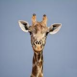 портрет шеи головки giraffe предпосылки Стоковое Фото