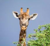портрет шеи головки giraffe предпосылки Стоковые Фото