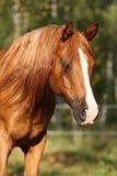 Портрет шикарной аравийской лошади Стоковые Фотографии RF