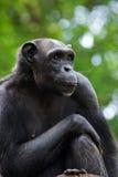 портрет шимпанзеа Стоковая Фотография RF
