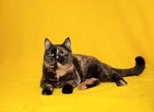 Портрет шотландского прямого кота shorthair стоковые фотографии rf