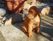 Портрет щенка венгерский сидеть vyzhla на открытом воздухе стоковые фотографии rf