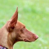 Портрет щенка гончей фараона на лужайке зеленой травы Стоковые Изображения