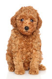 Портрет щенка пуделя Стоковое Фото