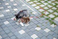 Портрет щенка сибирской лайки идя в двор Маленький милый щенок собаки сибирской лайки outdoors с космосом экземпляра стоковые фото