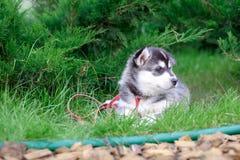 Портрет щенка сибирской лайки идя в двор Маленький милый щенок сибирской лайки выслеживает outdoors стоковые фотографии rf
