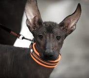 Портрет щенка собаки Xoloitzcuintli мексиканский безволосый Стоковые Фото