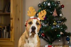 Портрет щенка терьера Стаффордшира представляя в уютной живущей комнате одевал для торжества Нового Года Стоковое Изображение