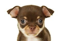 Портрет щенка чихуахуа стоковое изображение rf