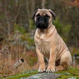 Портрет щенка Bullmastiff Стоковые Изображения RF