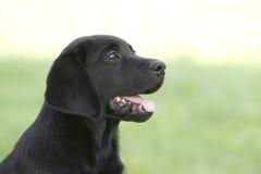 Портрет щенка labrador Стоковые Фотографии RF