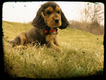 Портрет щенка Spaniel кокерспаниеля Стоковое Фото