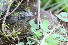 Портрет щелкая черепахи Стоковые Фотографии RF