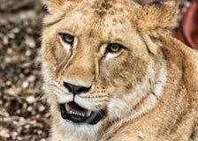 Портрет львицы Barbary - пантера leo leo, животный портрет Стоковое Фото