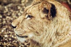 Портрет львицы Barbary - пантера leo leo, критически угрожает Стоковое Изображение RF