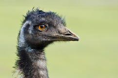 Портрет эму, родная австралийская бескрылая птица. Стоковое фото RF