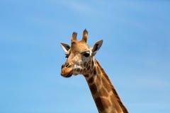 Портрет любознательного жирафа (camelopardalis Giraffa) над голубым небом с белыми облаками в заповеднике Стоковые Фото