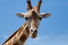 Портрет любознательного жирафа (camelopardalis Giraffa) над синью Стоковая Фотография RF