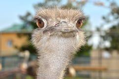 Портрет юга - американский конец-вверх Nandu страуса Стоковое Изображение