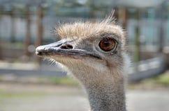 Портрет юга - американский конец-вверх Nandu страуса Стоковая Фотография