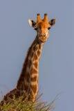 Портрет южно-африканского жирафа Стоковое Изображение
