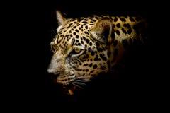 Портрет ягуара Стоковая Фотография RF