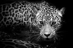 Портрет ягуара Стоковое Изображение
