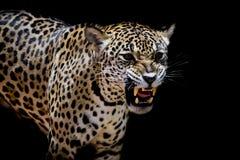 Портрет ягуара Стоковые Изображения