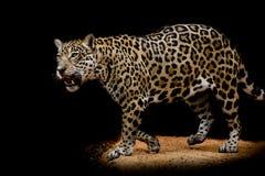Портрет ягуара Стоковое Изображение RF