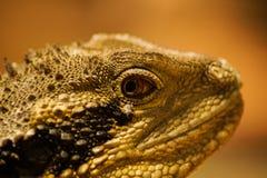 Портрет ящерицы гада стоковое изображение