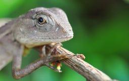 Портрет ящерицы монитора стоковое изображение