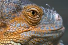 портрет ящерицы стоковое изображение